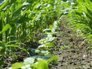 Mais-Stangenbohnen-Gemenge