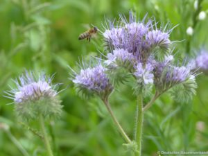 Wildbiene an Phacelia