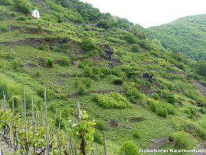 Offenhaltung brachliegender, verbuschter Weinbergsflächen