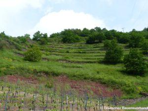 Offenhaltung einer brachliegenden Weinbergsfläche