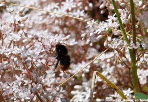 Wildbiene auf Mauerpfeffer